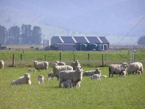 18sep 牧場の子羊