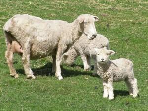 23sep 牧場の子羊