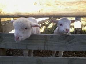 3rdsep 牧場の子羊