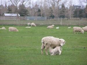 5thsep 牧場の子羊