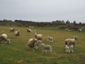 14aug canterbury lamb1