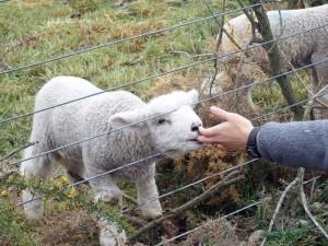 14aug canterbury lamb4