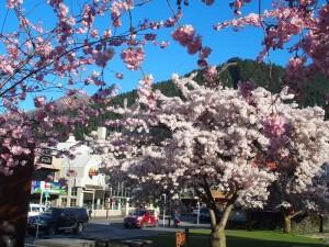 9月25日クイーンズタウン桜が見ごろ