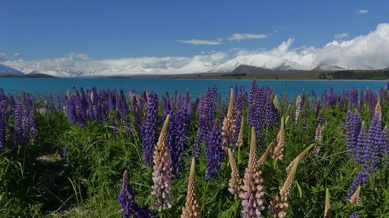 テカポ湖畔に咲き乱れるルピナス11月23日