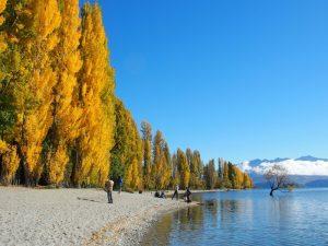 ワナカの黄葉とワナカツリー