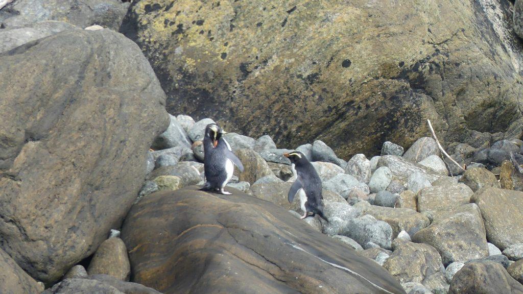 フィヨルドランドクレステッドペンギン9月15日