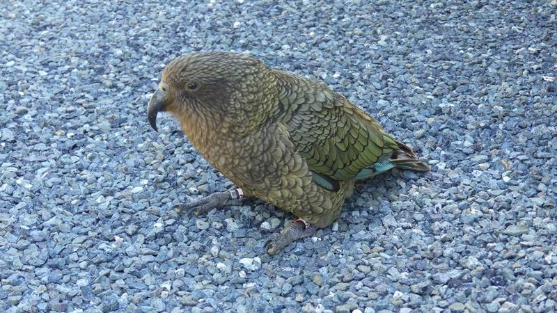 NZの高原のオウム;ケア
