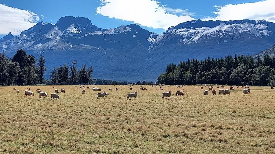 グレノーキーの羊牧場